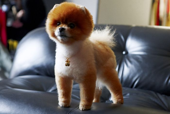 Tito the Pom, el perro modelo de Tous