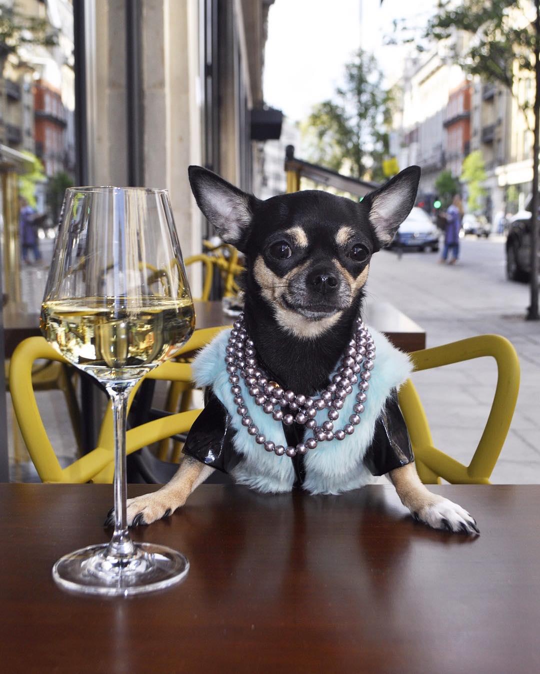 Dolly Pawton, la chihuahua más estilosa de Inglaterra